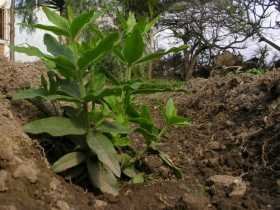 Riego cultivo plantas tintóreas con efluentes